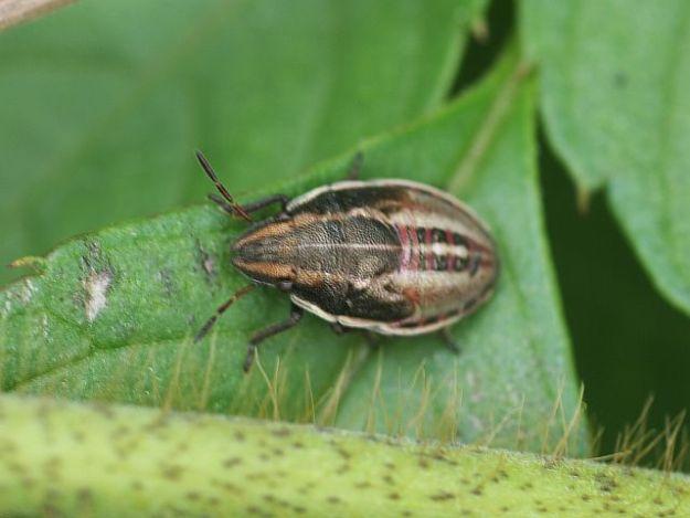 P1240003ウズラカメムシ幼虫-SP-t2000w-s