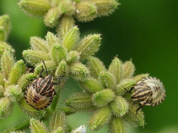 アカスジカメムシ幼虫