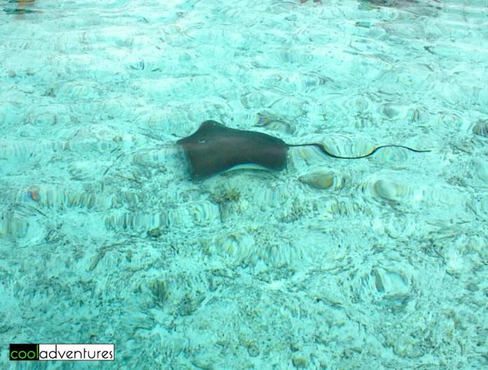 Swimming with sharks and rays in Bora Bora