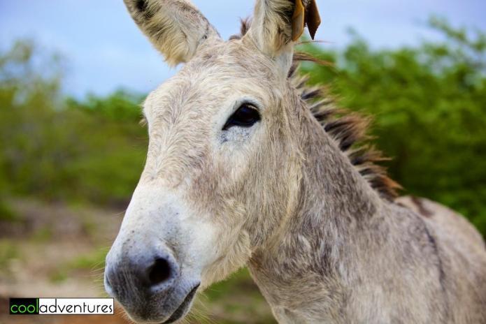 Bonaire wild donkeys