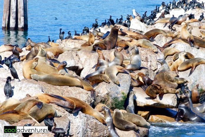 Monterey Bay sea lions, Monterey, California