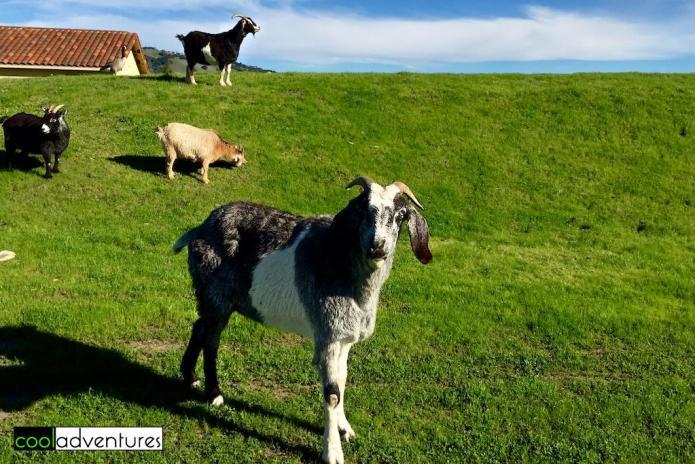Goats along Vintner's Inn hiking and jogging path