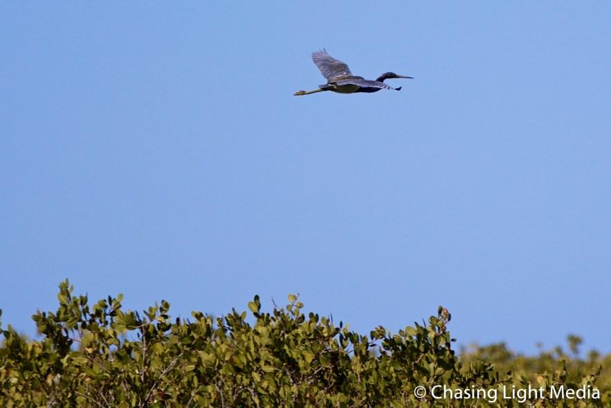 Bird flying above mangroves of Laguna San Ignacio