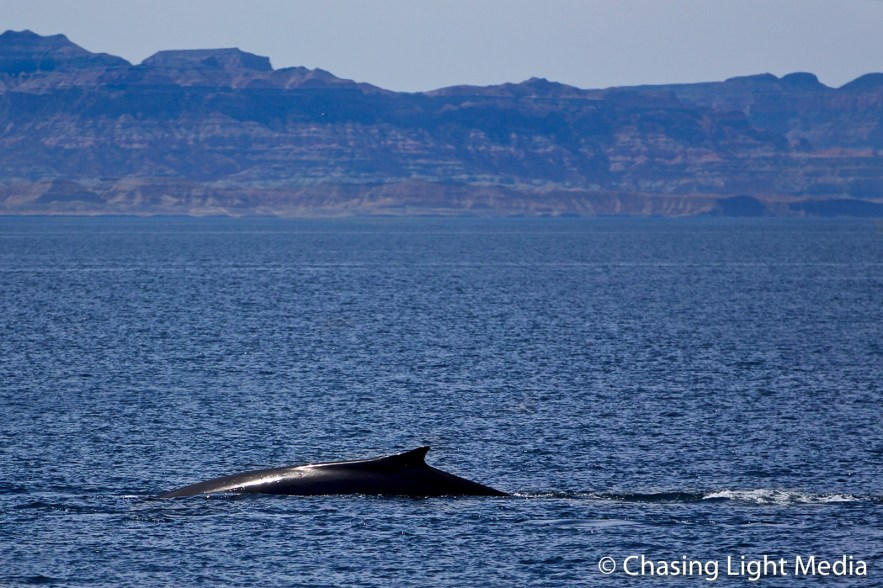 Side view of Fin whale with fin exposed, mountains in background