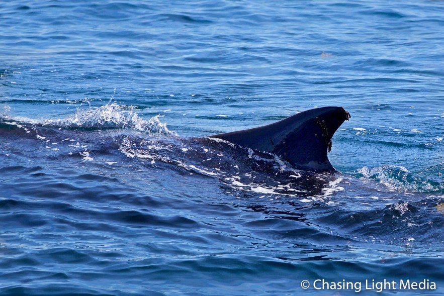 Fin whale surfacing with fin out of water, Baja California
