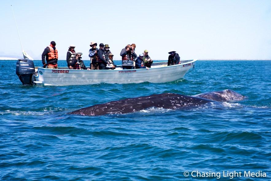 Visitors watch a pair of gray whales, San Ignacio