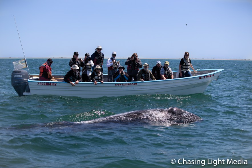 Searcher whale watching group in panga watching grey whale
