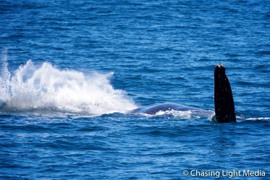 Humpback whale flipper flap creates splash [frame 5]