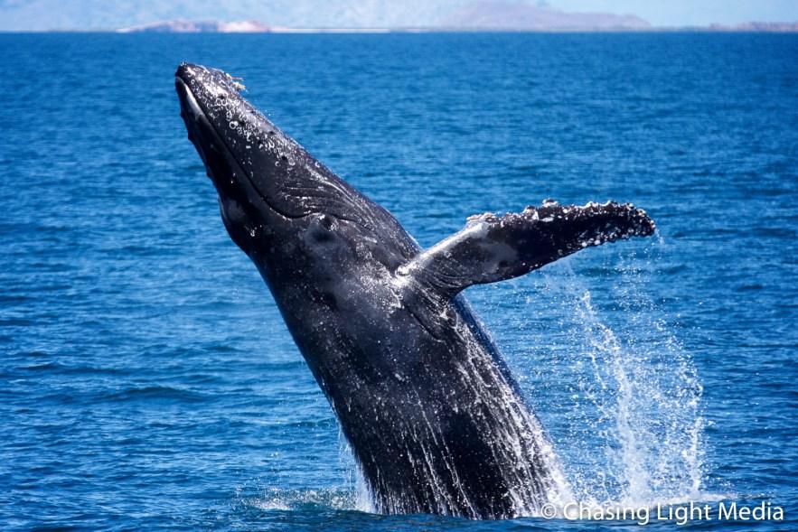 Breaching humpback whale [frame 3 - apex]