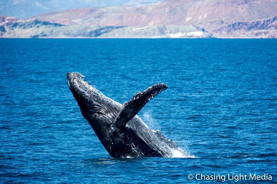 Breaching humpback whale offshore Isla San Francisco [frame 2]
