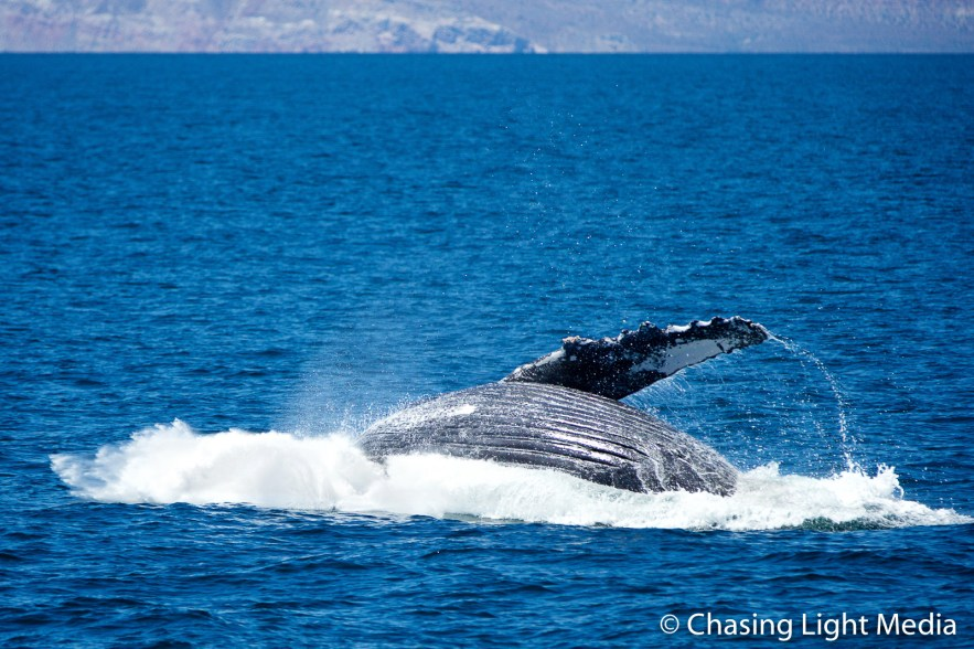 Breaching humpback whale [frame 4 - into the water]