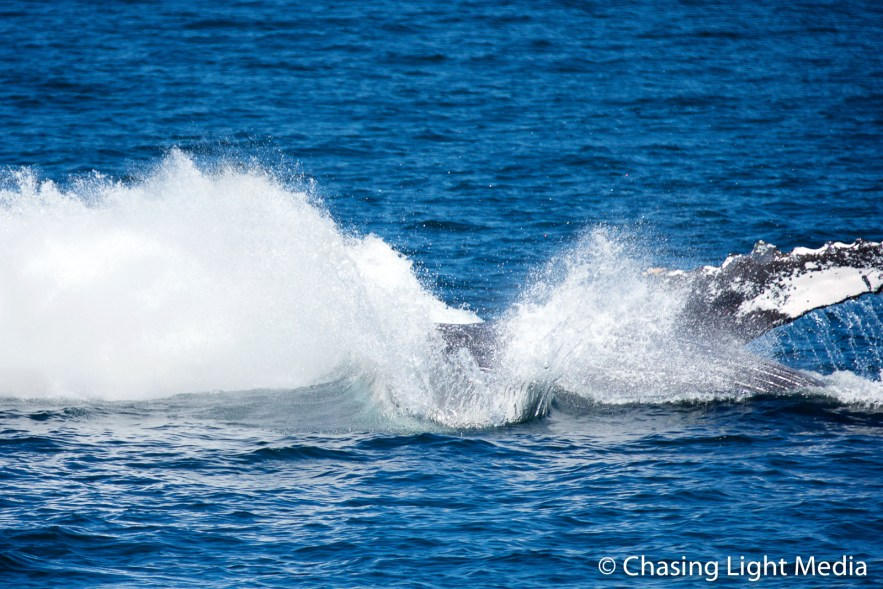 Breaching humpback whale [frame 6 - splashing water]