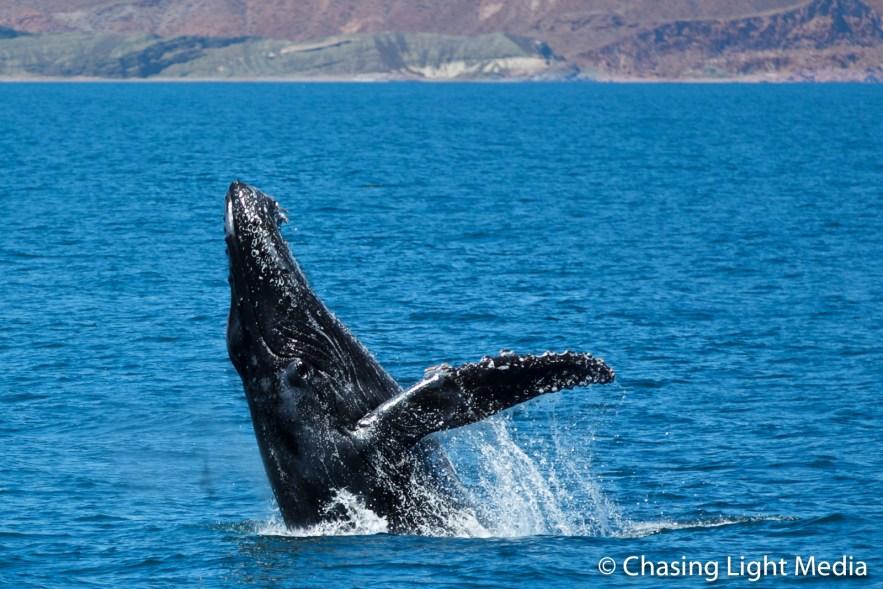 Humpback whale beginning breach near Isla San Francisco