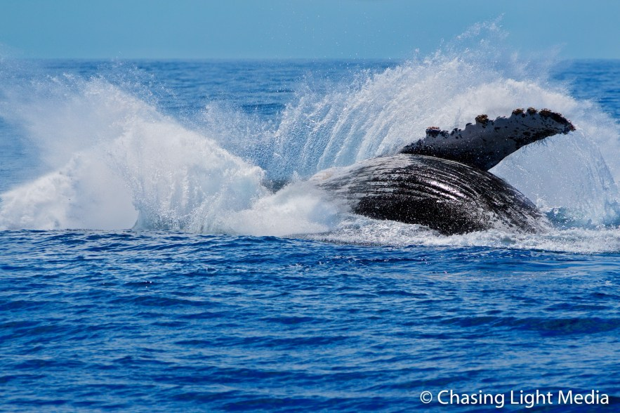 Humpback whale flops into water following breach, Baja, Mexico