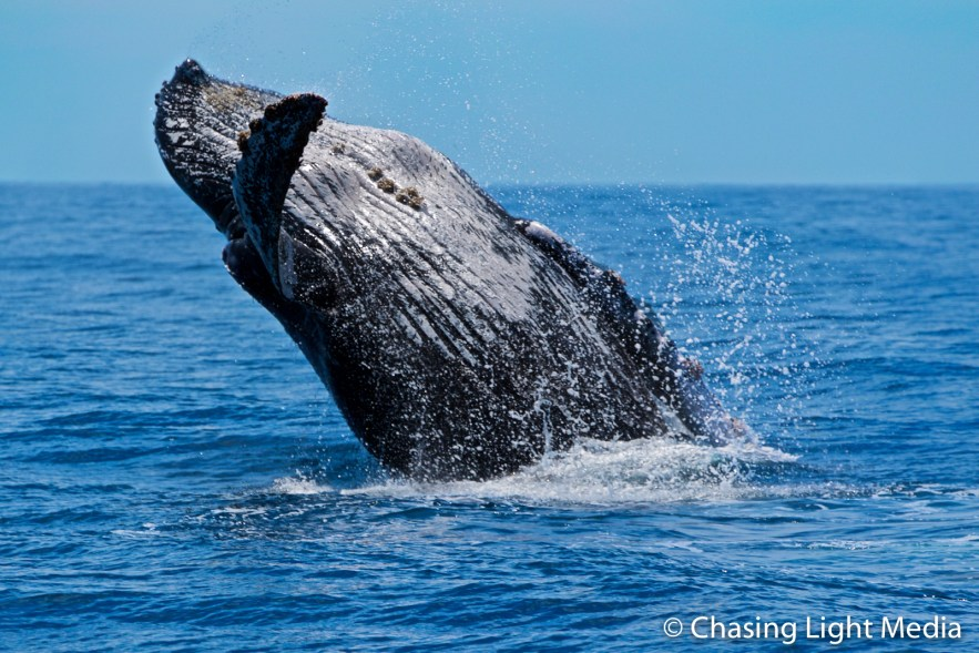 Humpback whale leans backward to flop after breach, Baja, Mexico