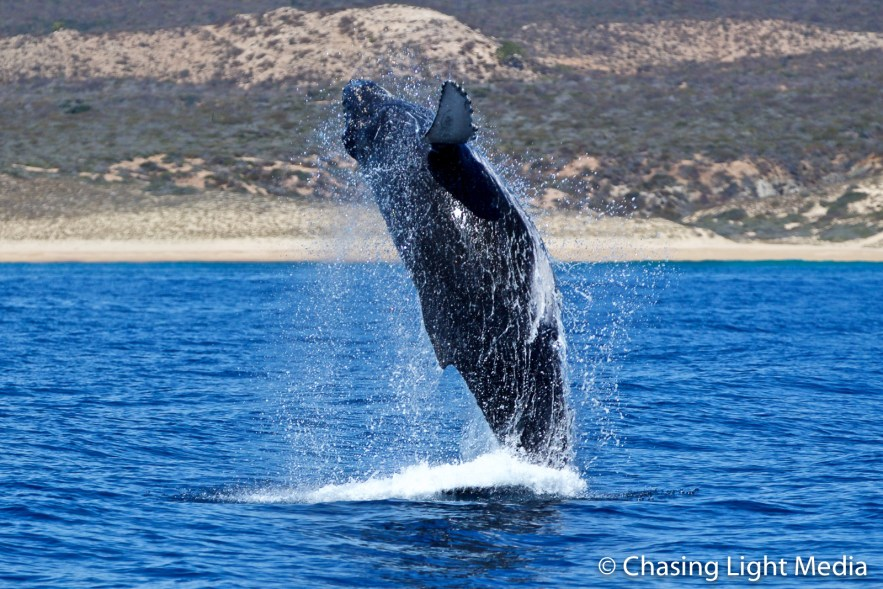 Humpback whale in full breach out of water, Baja, Mexico