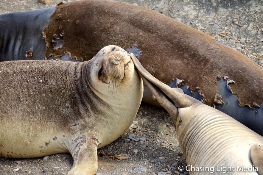 Elephant seal slapped by a neighbor's flippers, Baja Peninsula