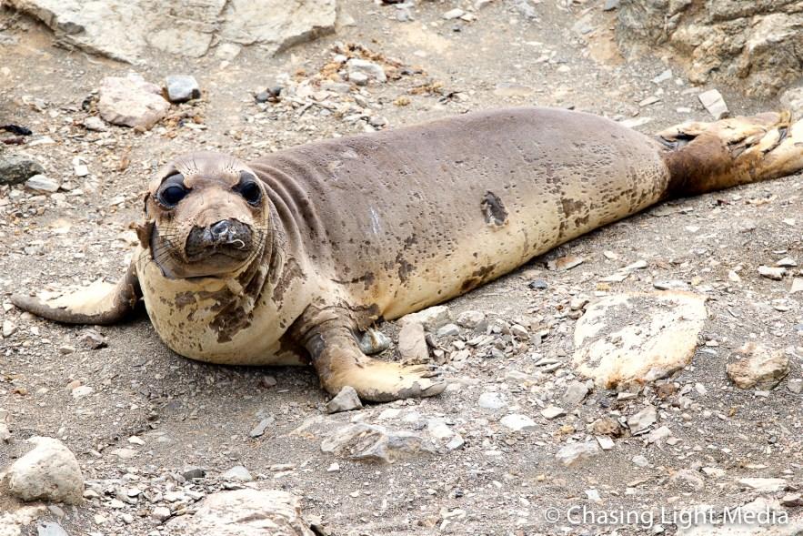 Molting elephant seal sitting up, Baja Peninsula, Mexico