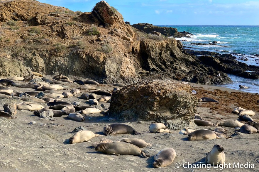 Large elephant seal colony on the shoreline of San Benito Oeste