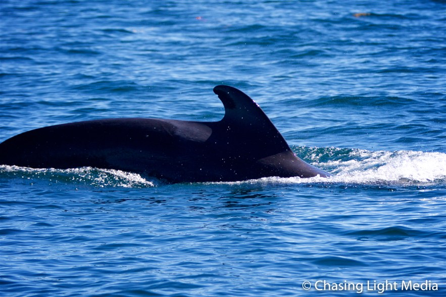 Pilot whale arching its back, Sea of Cortez, Baja Peninsula
