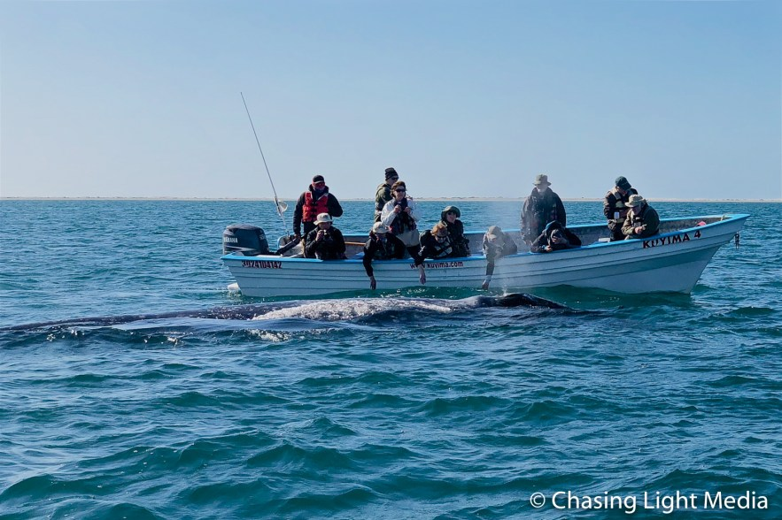 Searcher group petting a grey whale with Kuyima