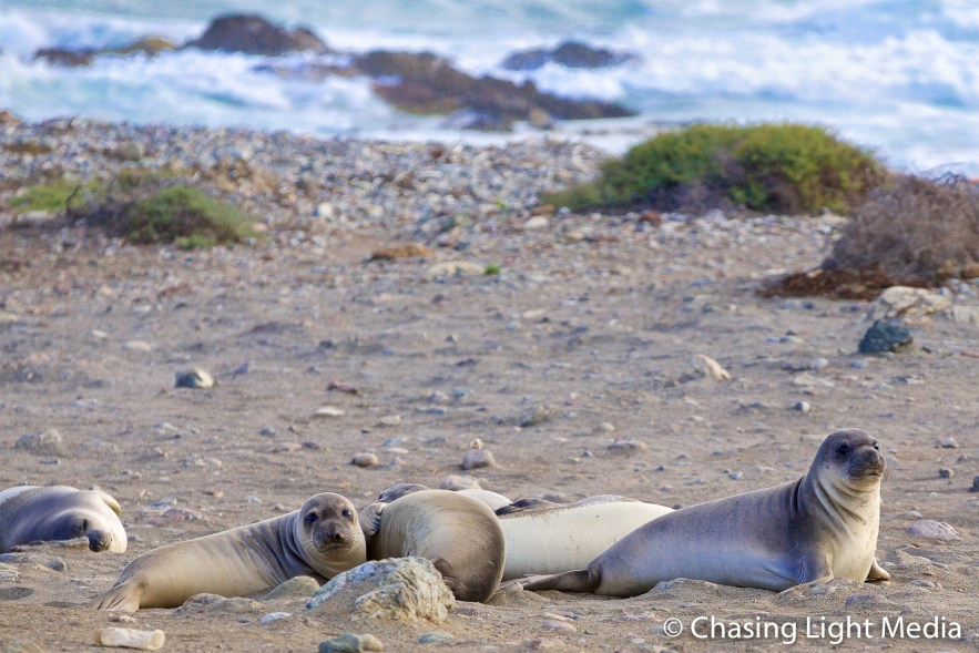 Elephant seals near the ocean, Islas San Benito, Baja California