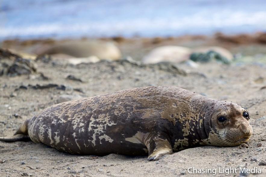 Molting elephant seal, Islas San Benito, Baja, Mexico