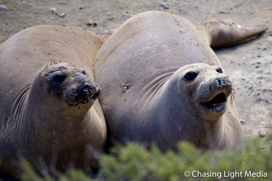 Pair of large, molting elephant seals on San Benito Oeste