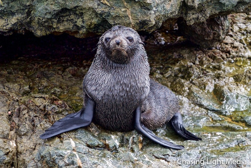 Guadalupe Fur Seal on Islas San Benito, Mexico