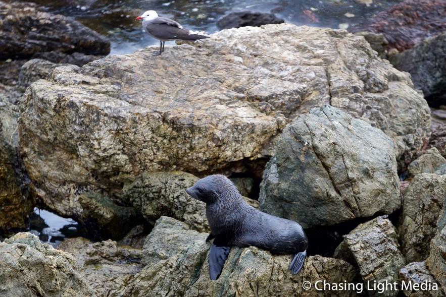 Guadalupe Fur Seal, Islas San Benito and Heermann's Gull