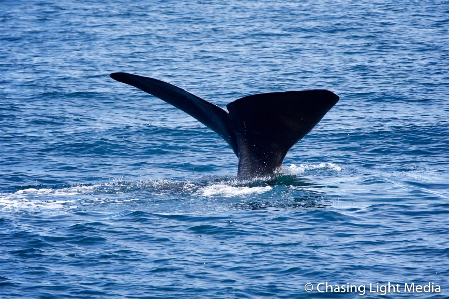 Fluking sperm whale reenters water, Sea of Cortez