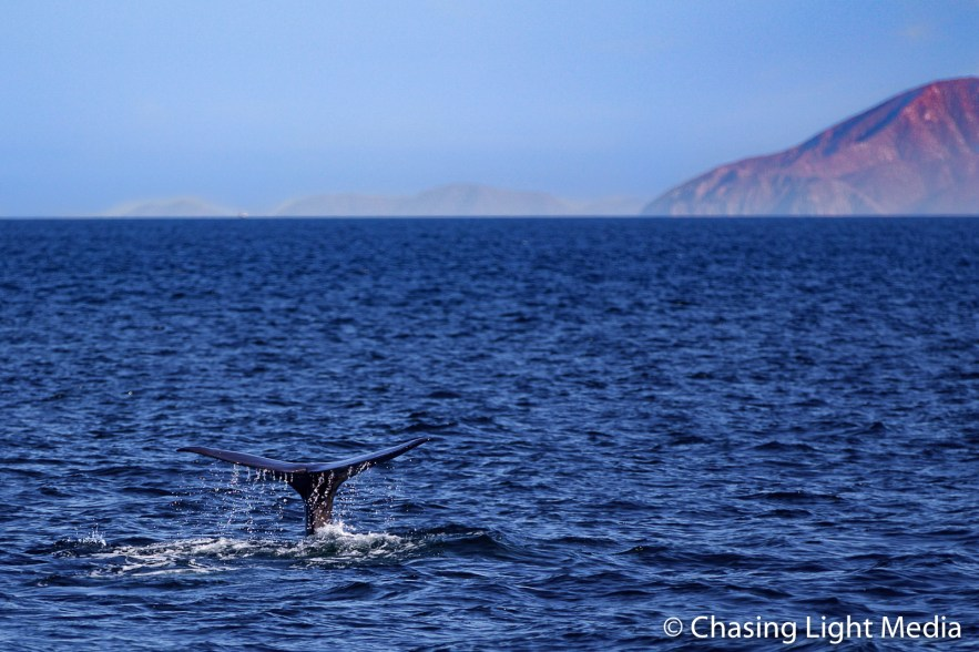 Sperm whale fluke with mountain background in Gulf of California