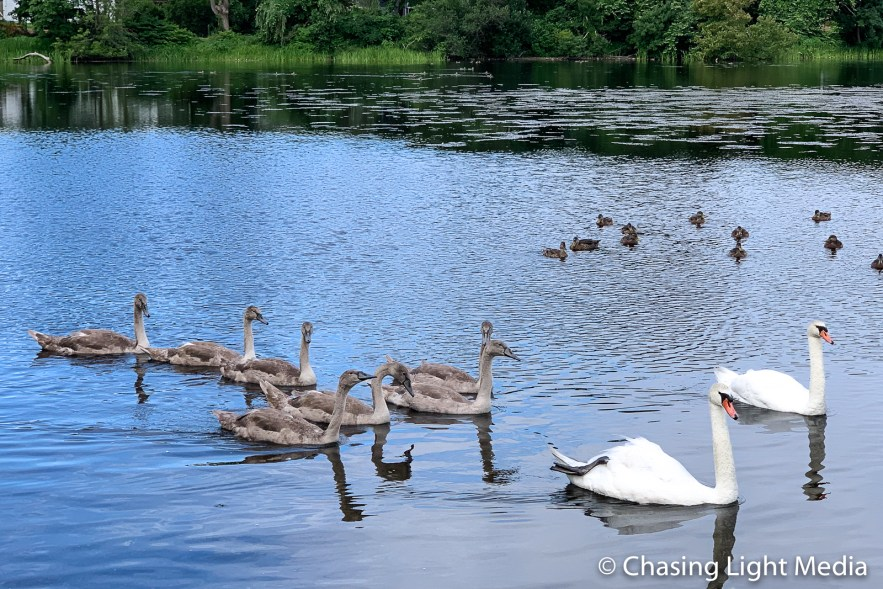 Swans in Plymouth, Massachusetts