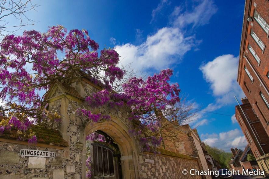Lilacs in bloom along Kingsgate Street in Winchester, England