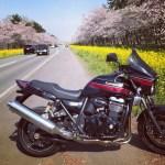 八郎潟 桜祭りと菜の花ロードをツーリング!夢の情景を楽しむ