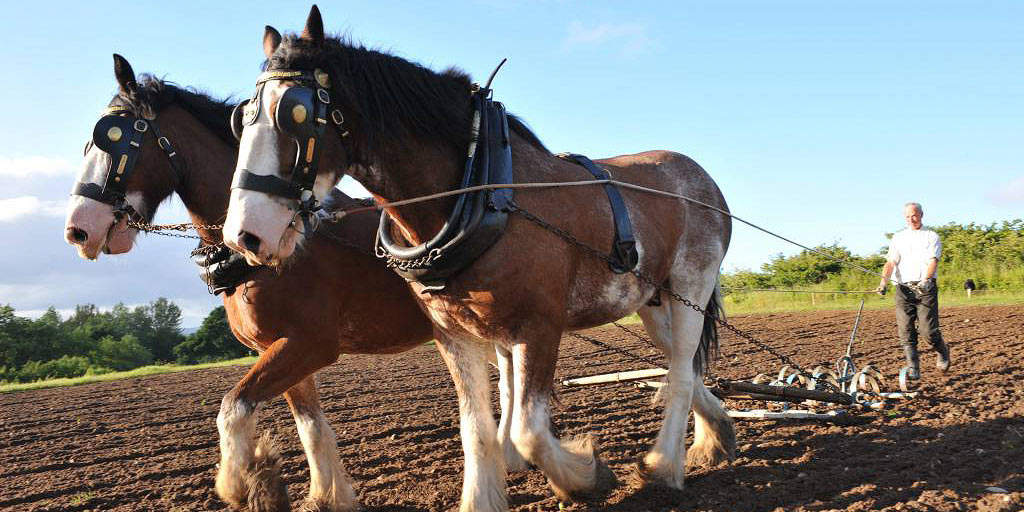 Horses ploughing at Muckross Traditional Farms