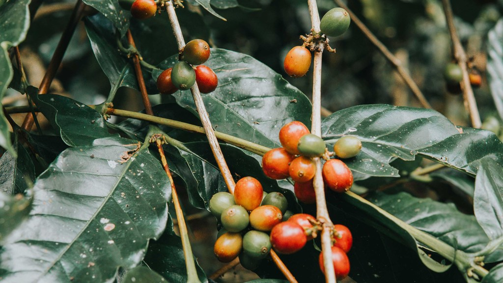 coffee beans come from cherries