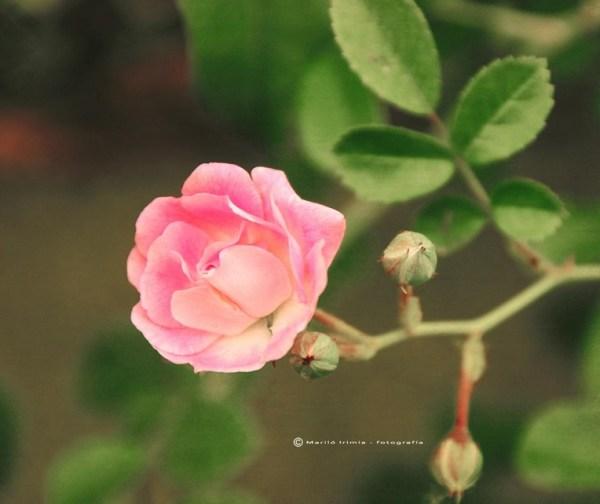 Rosa Rosae Rosam