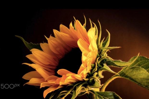 Beautiful Sunflower Image
