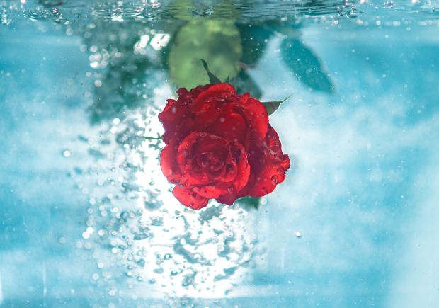 Rose under the water