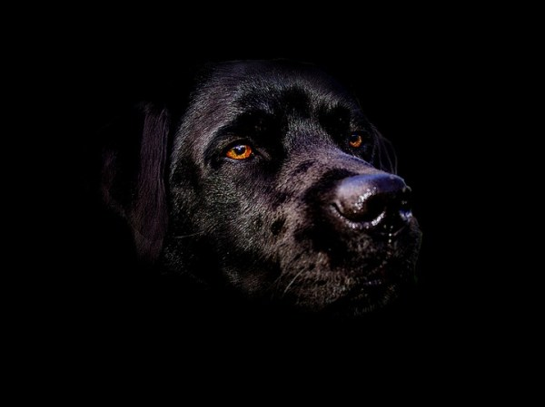 Black dog in black background