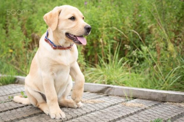Paw - Labrador Puppy