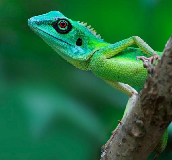 Changeable Lizards