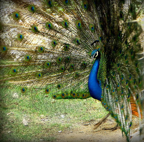 Dancing Peacock by Hamed Saber