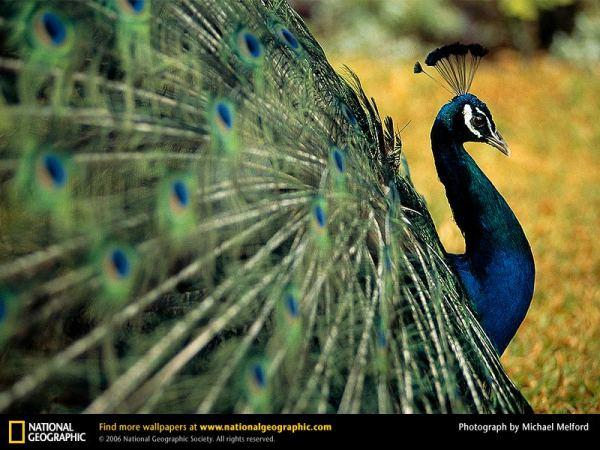 Peacock, Dominica, 1996