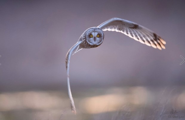 short-eared owl incoming