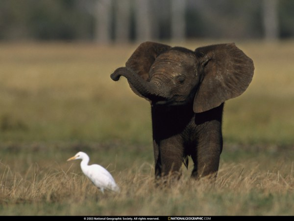 Download Baby Elephant Africa Nation