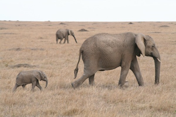 Walk Baby Elephant And Mother Wallpaper
