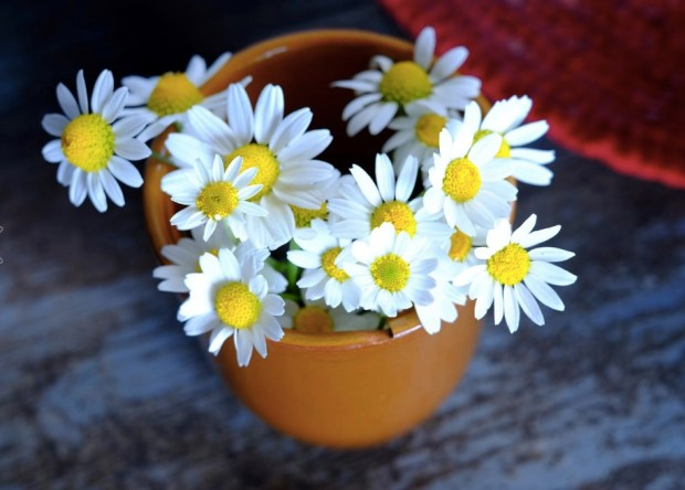 Daisies in the village