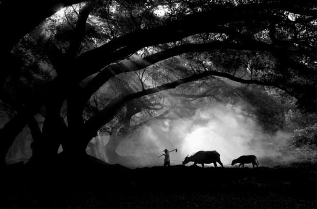 Farmer with his buffalos